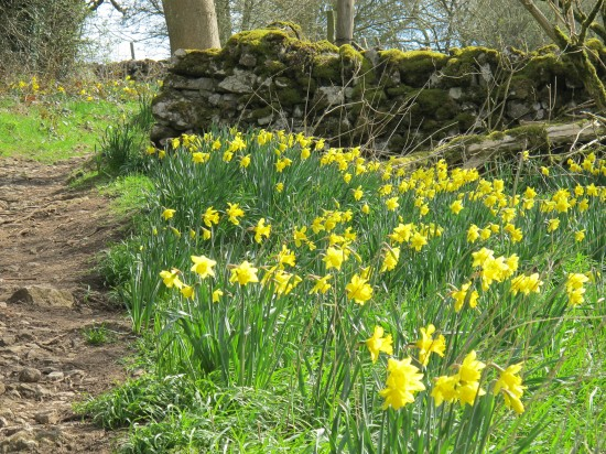 English Countryside Daffodils
