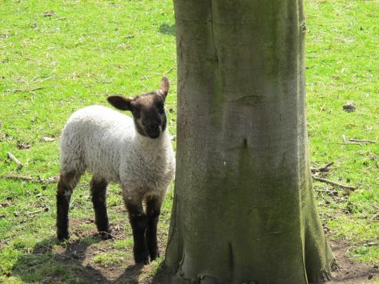 Lamb Playing Peek-a-Boo