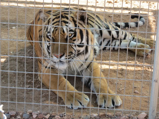 A Rescued Tiger at Keepers of the Wild