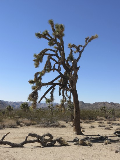 This is the Joshua Tree.