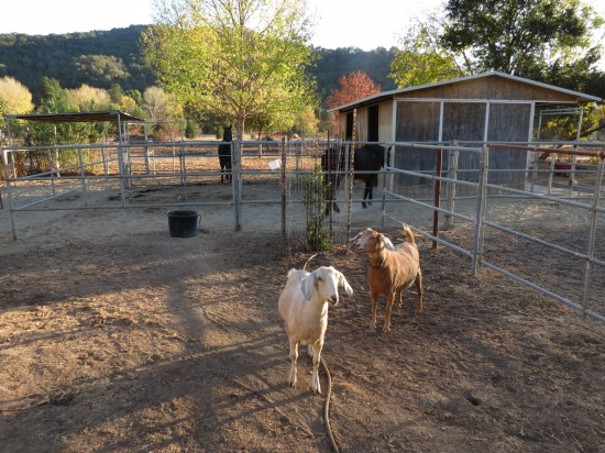 Momma and Daughter Goats Happy and Mocha